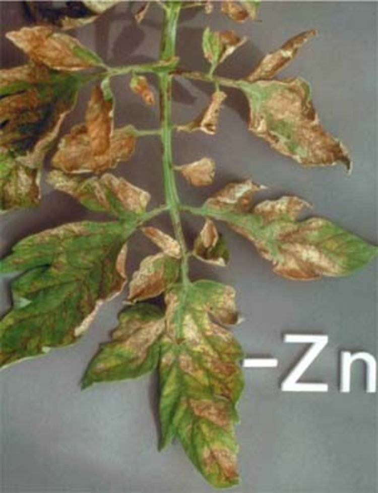 RHP tomatoe with zinc deficiency