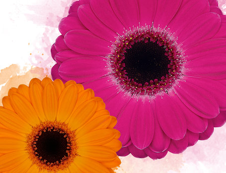 PURE Gerbera Collection