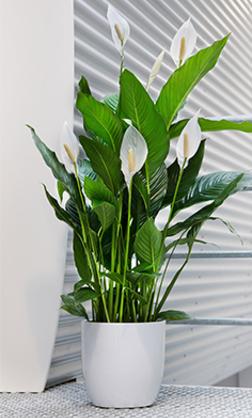 Luftreinigende Pflanzen - Air So Pure Pflanzen Fur Frische Luft Nutzen