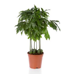 Grünpflanze Wenig Licht grünpflanzen kwekerij zeurniet