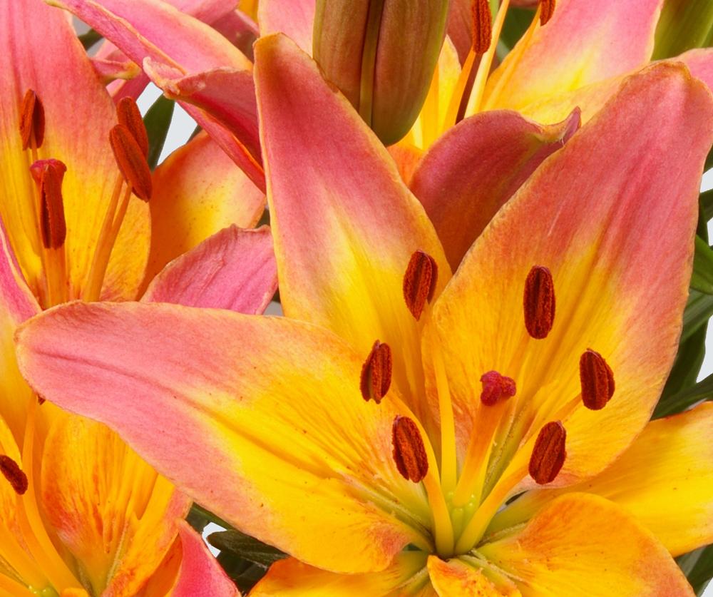 Potlilies van schie potlelies aziaat ladylike izmirmasajfo