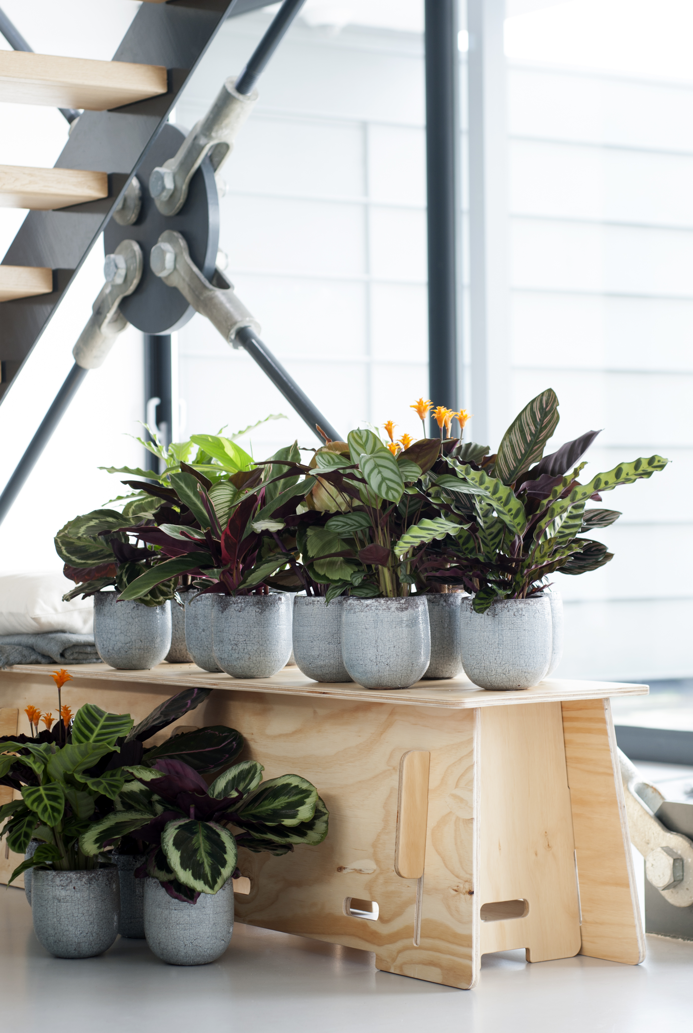 Calathea - Air So Pure on toys that open and close, weeds that open and close, succulents that open and close, flowers that open and close, windows that open and close,