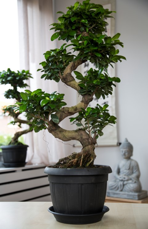 care of ginseng ficus bonsai. Black Bedroom Furniture Sets. Home Design Ideas