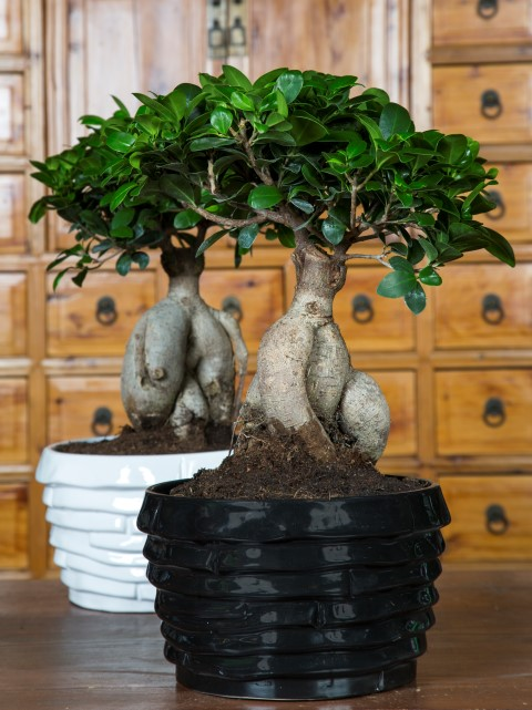 Ficus Ginseng Oriental Online