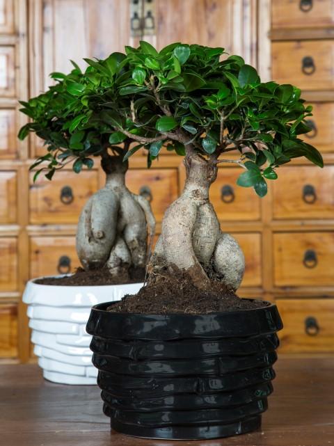 ficus ginseng pflege ficus ficus microcarpa ginseng selber ziehen bonsai xpixjpg ficus. Black Bedroom Furniture Sets. Home Design Ideas