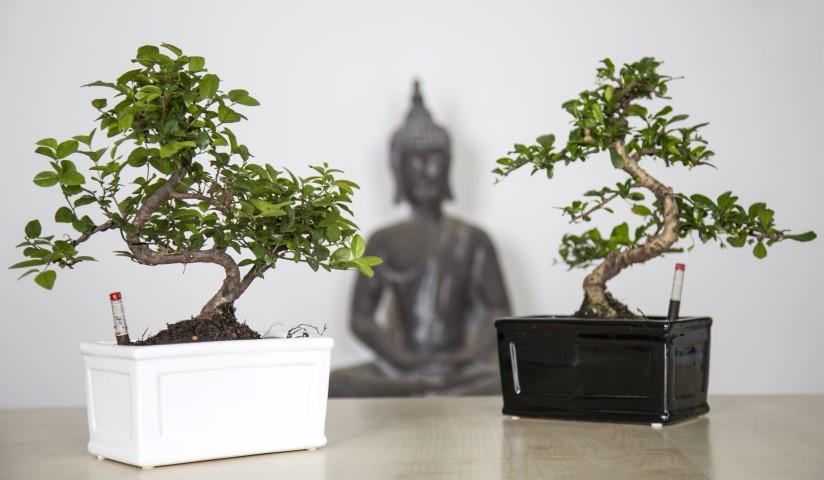 Bonsai Boom Verzorgen : Bonsai oriental online